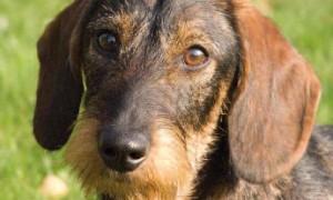 Dodelijke hondenziekte bij Duitse grens geconstateerd – De Limburger 18 mei 2018
