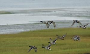 Update – Vogelgriep in Monnickendam blijkt virustype H5N8