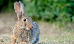 Jagersvereniging: hazen en konijnen helemaal niet kwetsbaar – RTL Nieuws