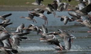 Minder sterke groei aantal ganzen – Dit is de Dag