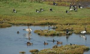 Update vogelgriep – Verstoren watervogels verboden