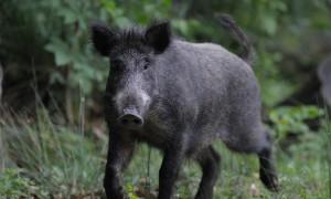 Een helder standpunt over faunaschade en Afrikaanse varkenspest – ZLTO