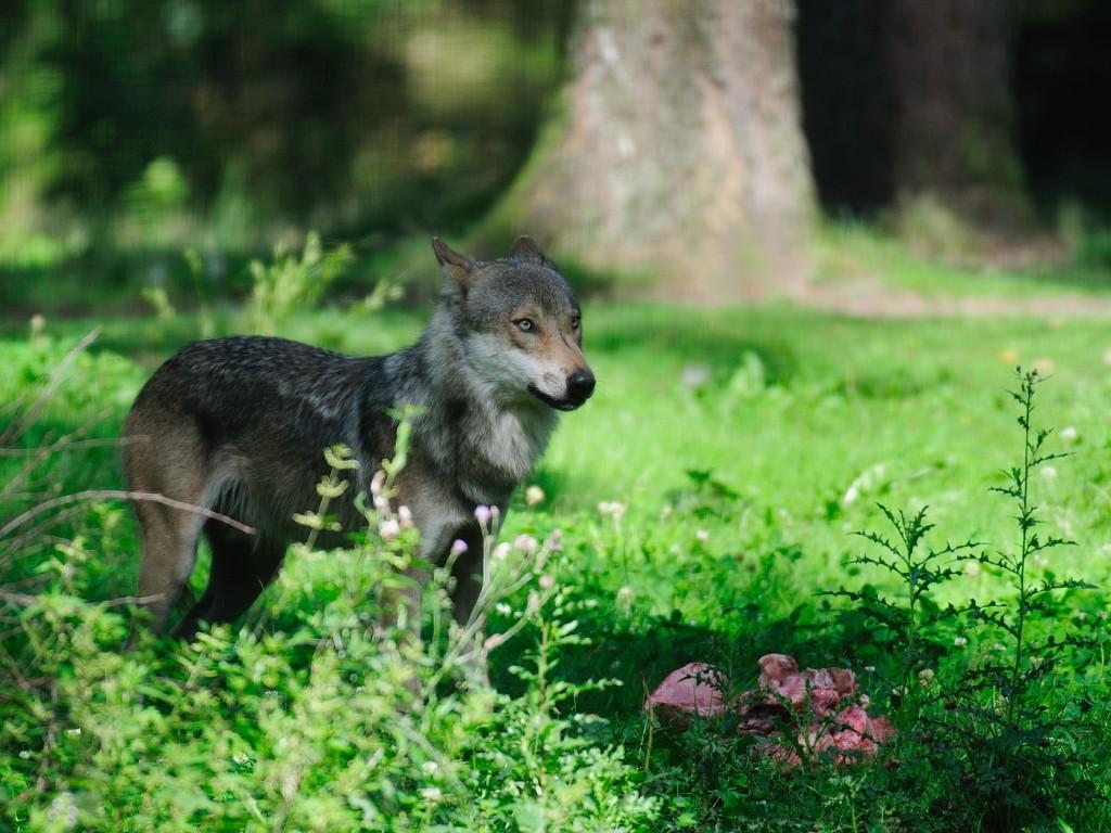 Een wolf met verse buit