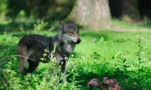 Is de wolf na 120 jaar écht terug in Brabant? – Brabants Dagblad