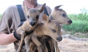 Jager redt drieling reekalveren uit de sloot