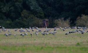 Acht uit Negen! Wat gaat er mis met de kraanvogels in Nederland?