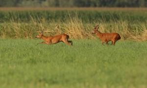 Reeënbronst begonnen: Jagersvereniging waarschuwt voor aanrijdingen