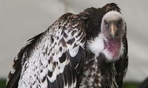 Waar zijn de gieren? Kadavers als bron voor biodiversiteit?