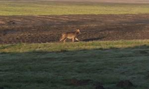 Wolf doodgereden in Duitsland