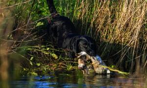 Nieuwe structuur voor jachthondenopleidingen en -proeven