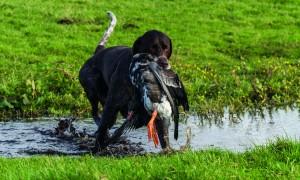 Jachthondenproeven toch mogelijk dit seizoen