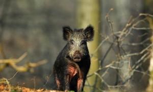 Noodklok geluid, jagers voor wilde zwijnen gezocht – L1