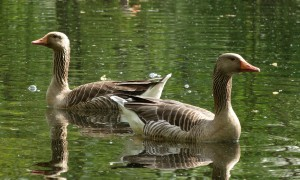 Jagers willen jachtseizoen voor ganzen verschuiven – Nieuwe Oogst