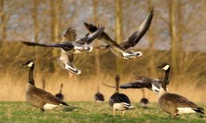 Faunafonds trekt op verzoek provincies zomerplafond ganzenschade in – BIJ 12