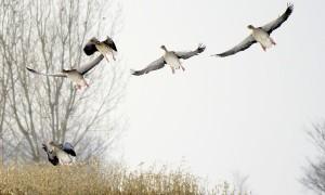 Raad van State: 'Noord-Holland mag ganzen blijven schieten' – Hart van Nederland