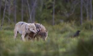 De toekomst van de wolf in Nederland