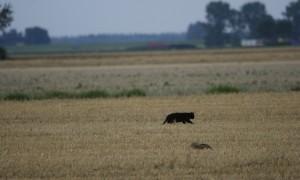 Antwoorden Kamervragen van D66 over 'het afschieten van verwilderde katten'