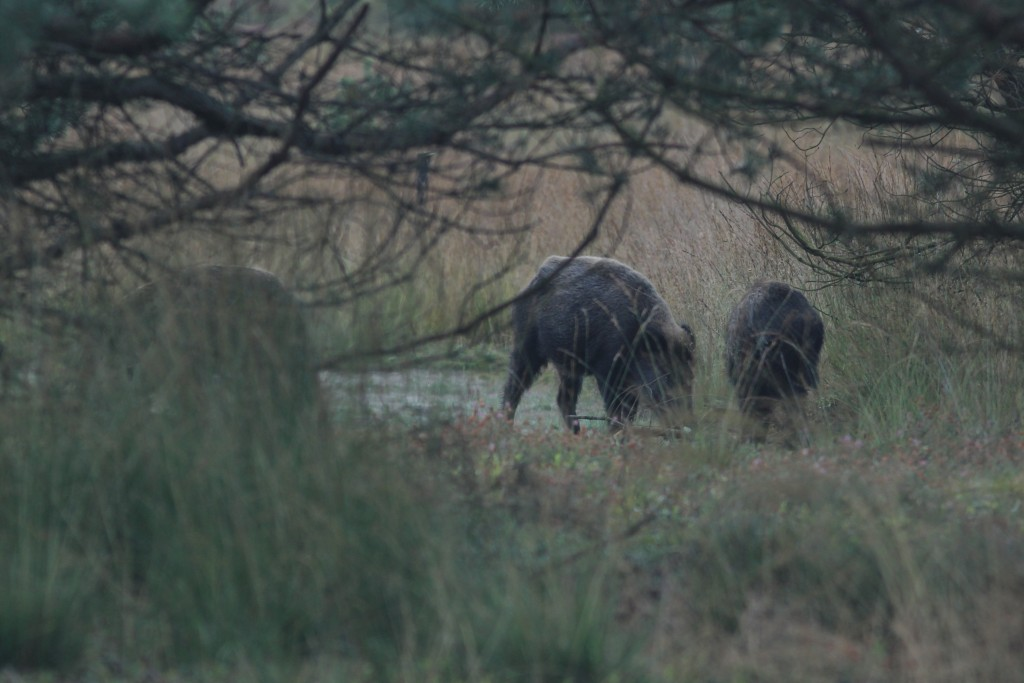 Wilde zwijnen komen vooral voor in de twee aangewezen leefgebieden (Veluwe en Meinweg). Daarbuiten komen er honderden dieren voor in Limburg en Noord-Brabant.
