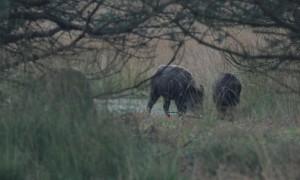 Wild zwijn doodgereden in Drenthe