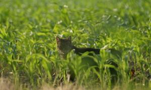 Verwilderde katten van buiten de provincie Zeeland zijn niet welkom – Omroep Zeeland