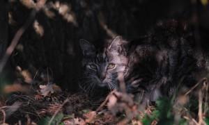 Tienduizenden verwilderde katten bedreigen natuur: castreren of afschieten? – RTL Nieuws