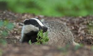 Nieuwe Dassenovereenkomsten Faunafonds – BIJ12