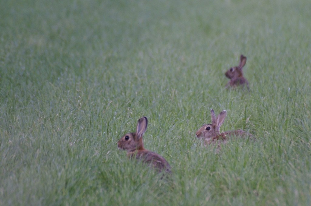 virale ziekten zorgden in Europa voor grote landschappelijke gevolgen in gebieden waar voorheen grote konijnenpopulaties waren