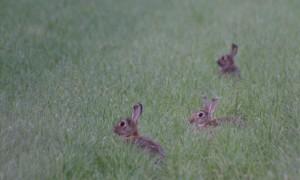 Landelijke sterfte onder konijnen door VHD – Universiteit Utrecht