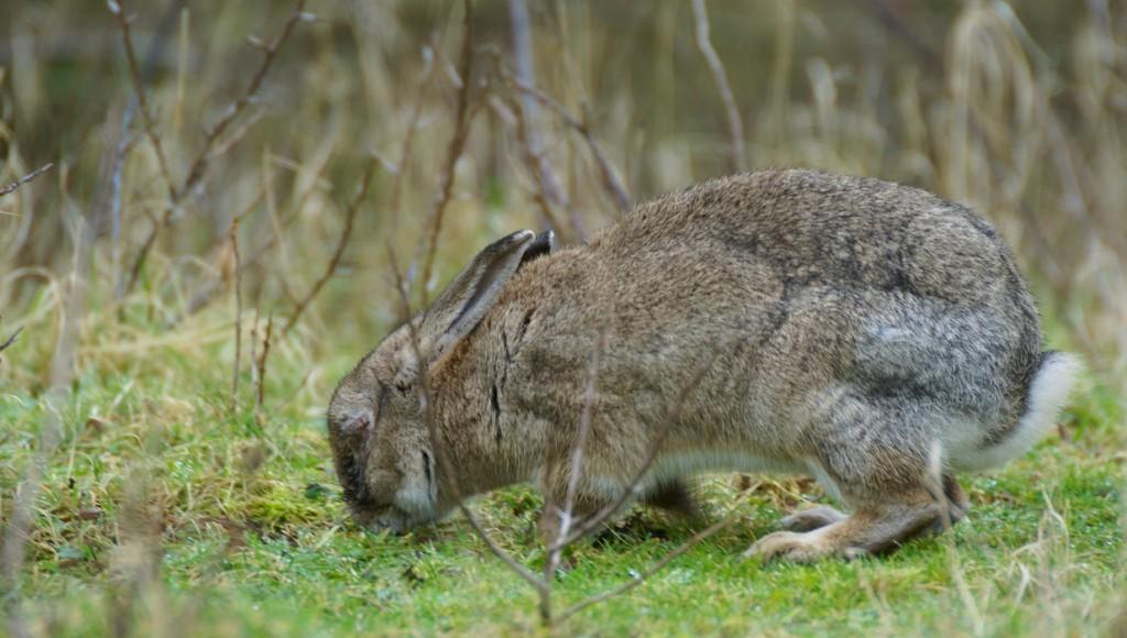 Iedere jager kent wel de myxomatose bij het konijn. Het meest kenmerkende beeld is zwelling van de oogleden en sterfte.