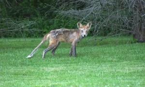 Opnieuw schurft gevonden bij een vos in Limburg – DWHC