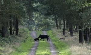 Provincie Limburg koopt nachtzichtkijkers voor jacht op wilde zwijnen