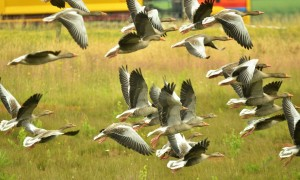 Jagers willen jachtseizoen voor ganzenjacht – NOS Journaal