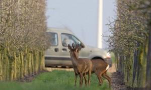 Drones, verrekijkers en afschot: faunabeheer telt reewild – RTL Nieuws