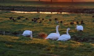Update vogelgriep 19/01: Vervoersgebied Boven-Leeuwen (Gelderland) met ingang van vrijdag 20 januari 2017 ingetrokken