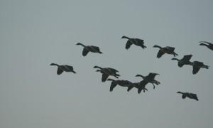 Rudmer Heerema (VVD) stelt schriftelijke vragen over jachtbeperkingen door de vogelgriep