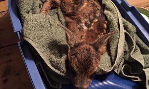 Jager redt reekalfje nadat reegeit is aangereden