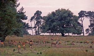 Grenzen aan de populatiegroei? Reportage over jachtvrij Deelerwoud in De Jager