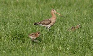 Actieplan weidevogels Groningen uitgereikt aan gedeputeerde