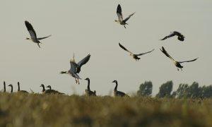 Uitbraak vogelgriep Altforst: gedeeltelijk jachtverbod op wilde watervogels