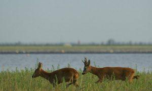 Jagersvereniging waarschuwt voor aanrijdingen vanwege reeënbronst