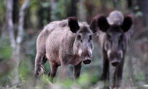 Afrikaanse varkenspest lijkt onstuitbaar – wat jagers moeten weten