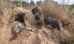 Medewerking jagers in Groningen en Drenthe gevraagd bij onderzoek naar vossenlintworm