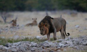 'Leeuw neerschieten kan helpen' – De Volkskrant