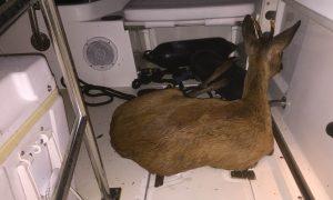 Jager redt reebok van verdrinking, Jagersvereniging pleit voor voldoende uittreedplaatsen voor wilde dieren