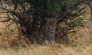 Internationale CITES-conferentie bevestigt de belangrijke bijdrage van duurzame trofeejacht aan natuurbescherming – FACE