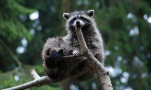 Help mee en meld een dode wasbeerhond of wasbeer
