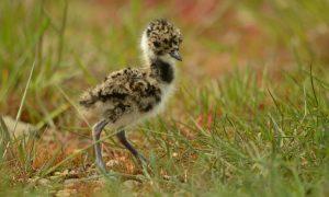 Van Dam: te vroeg voor conclusies over reddingsplan weidevogels – NOS.nl