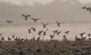 Update vogelgriep 17/01: Vervoersverbod Kamperveen ingetrokken