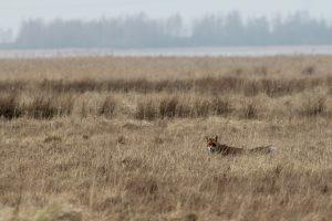 Met een vossenpopulatie van 50.000 tot 130.000 dieren, 500.000 zwarte kraaien en 162.000 verwilderde huiskatten in het buitengebied is de predatiedruk op weidevogels hoog