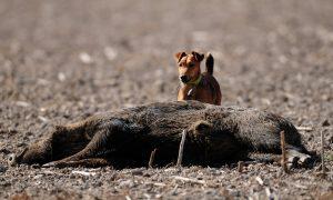 Nieuw protocol dood gevonden wild zwijn